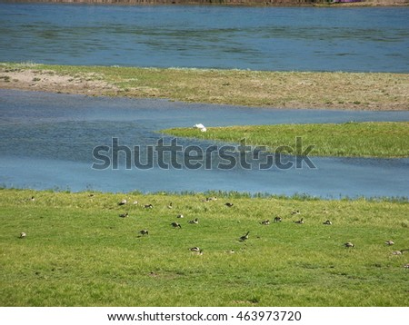 Canadian Geese Grazing Near Yellowstone River in Yellowstone National Park