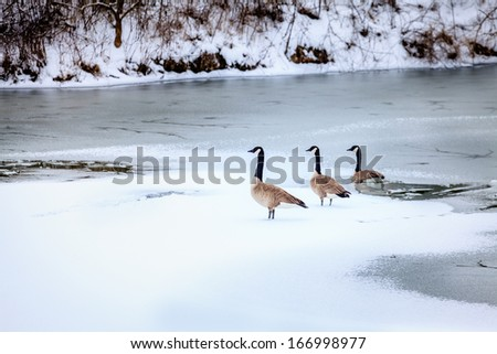 Canadian geese in winter