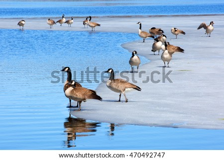 Canadian geese on ice flow near cold blue icy water