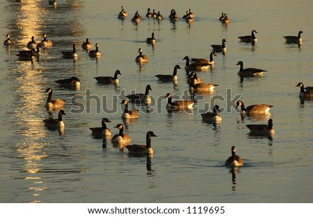 Canadian Geese swimming on water - stock photo