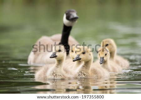 Canadian goose chicks - stock photo