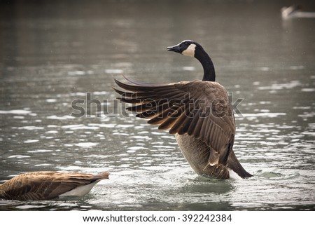 Canadian goose flapping wings  - stock photo