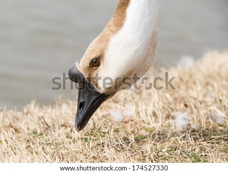 Canadian goose grazing bank of a pond - stock photo