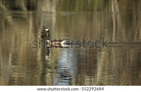 canadian goose in lake swimming