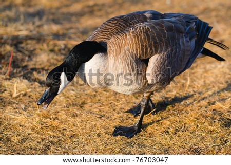 Canadian Goose in the prairies, Alberta Canada - stock photo