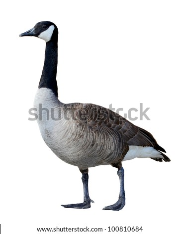 Canadian Goose isolated on white - stock photo