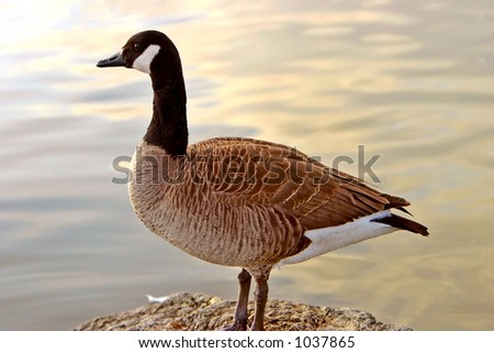 Canadian Goose perched on a rock overlooking the pastel reflections of a sunset off the water.  Little water beads across the belly of the goose. - stock photo