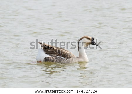 Canadian goose swimming in water - stock photo