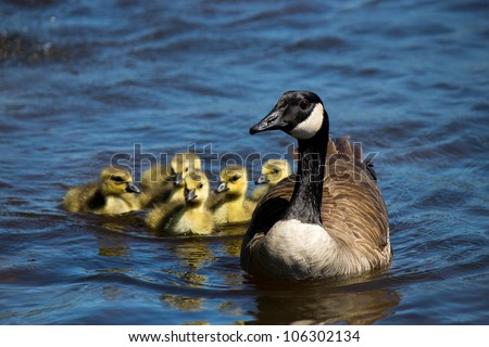 Canadian goose swimming with thier goslings. - stock photo