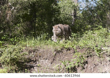 Canadian lynx charges down mountain hillside.