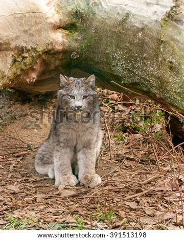 Canadian lynx kitten sitting and watching the neighborhood