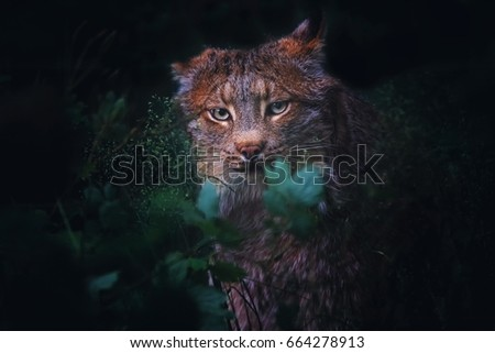 Canadian lynx (Lynx canadensis) detail portrait in the grass
