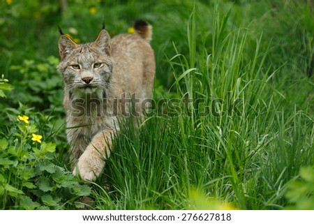 Canadian Lynx walking through spring forest. (Lynx canadensis) - stock photo