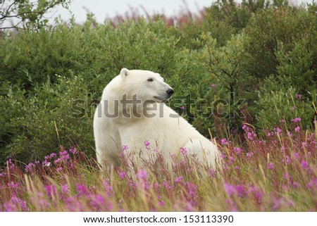 Canadian Polar Bear sitting in the colorful arctic tundra of the Hudson Bay near Churchill, Manitoba in summer - stock photo