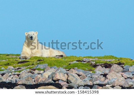 Canadian polar bear sitting on a patch of grass above some rocks, looking out at the camera - stock photo
