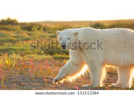 Canadian Polar Bear walking in the colorful arctic tundra of the Hudson Bay near Churchill, Manitoba in summer with the evening sun shining - stock photo