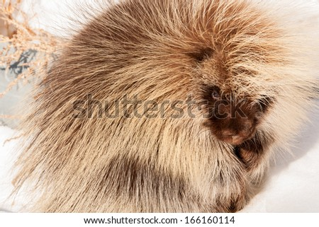 Canadian Porcupine - stock photo