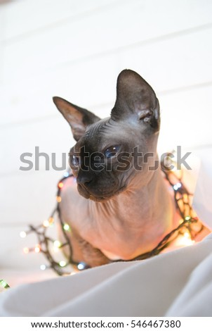Canadian  sphinx cat on a white background in garlands