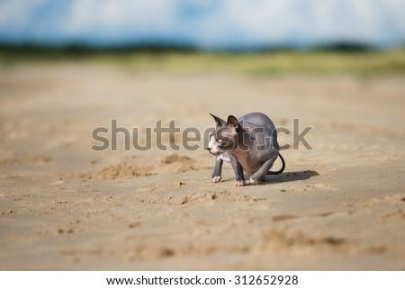 canadian sphynx cat on the beach - stock photo