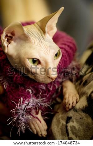 Canadian Sphynx cat portrait  - stock photo