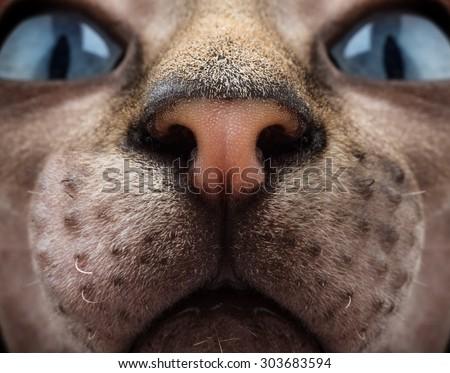Canadian Sphynx cat portrait close-up  - stock photo
