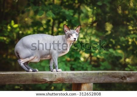 canadian sphynx cat portrait outdoors - stock photo