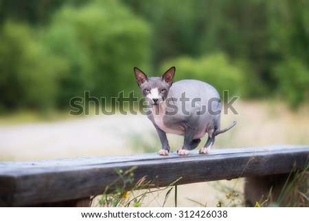 canadian sphynx cat posing on a bench - stock photo