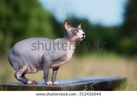 canadian sphynx cat posing outdoors - stock photo