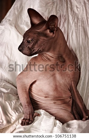 canadian sphynx cat sitting on white cloth - stock photo