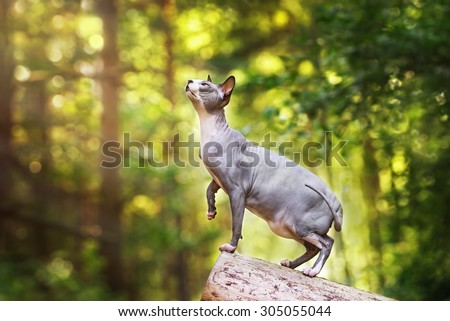 canadian sphynx cat standing outdoors  - stock photo