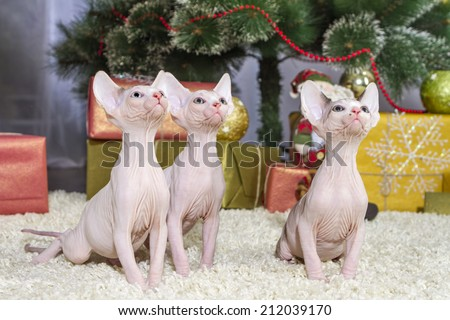 Canadian sphynx kitten christmass theme