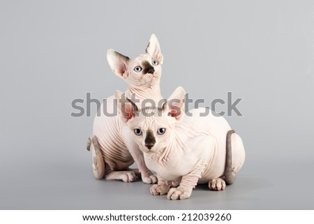 Canadian sphynx kitten on gray background - stock photo