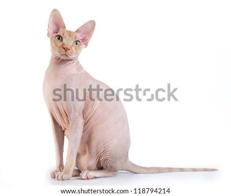 Canadian sphynx on the white background