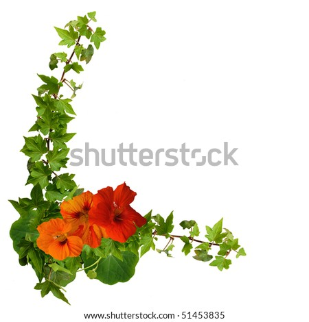 canary creeper and ivy isolated on the white background - stock photo