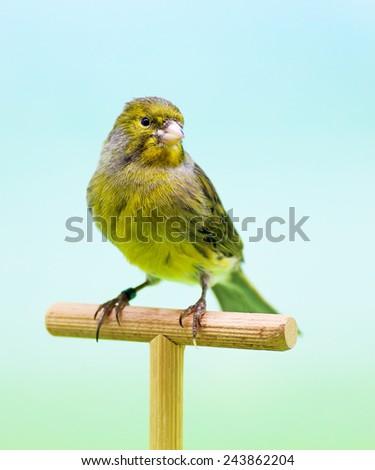 Canary (Serinus canaria). - stock photo