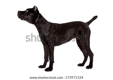 Cane corso, black dog on the white background - stock photo