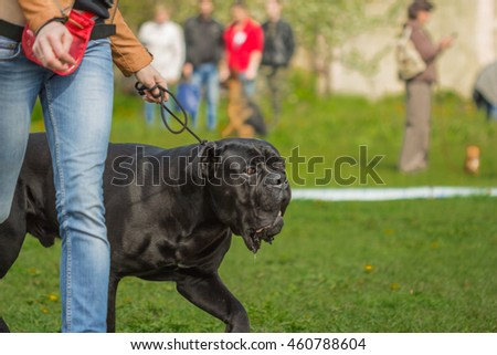 Cane Corso black is on a leash with a man