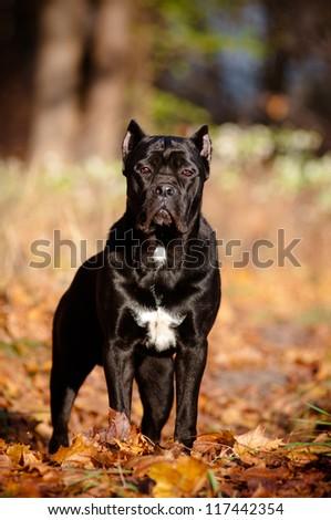 cane corso dog autumn portrait in fallen leaves - stock photo