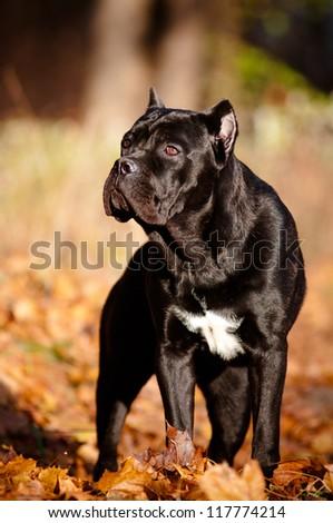 cane corso dog autumn portrait on fallen leaves - stock photo