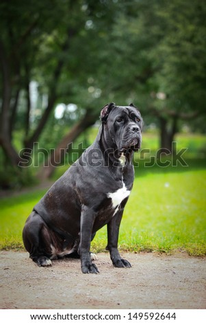 Cane Corso dog in nature - stock photo