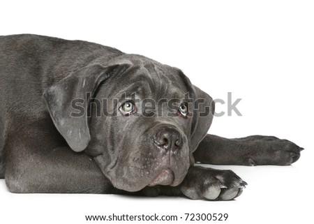 Cane corso dog puppy lying on a white background - stock photo
