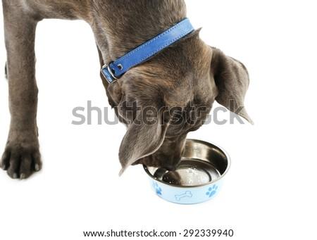 Cane corso italiano dog eating food, isolated on white - stock photo