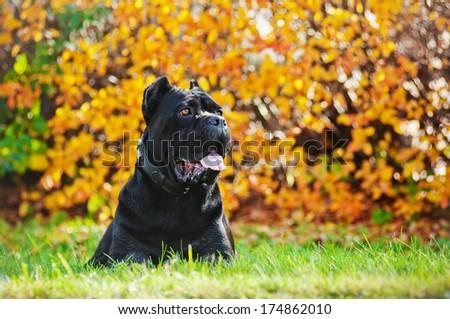 cane corso italiano dog outdoors - stock photo