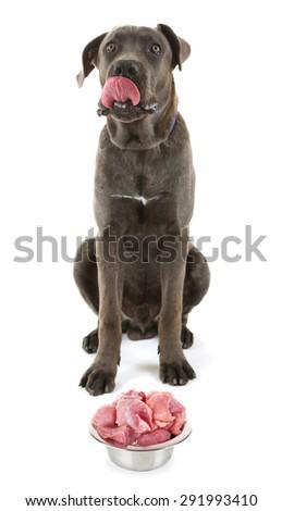 Cane corso italiano dog with food, isolated on white - stock photo
