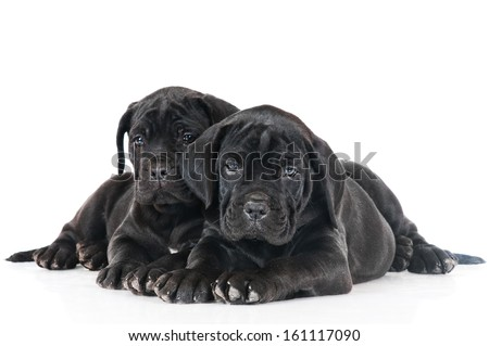 cane corso puppies together - stock photo