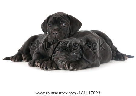 cane corso puppies together