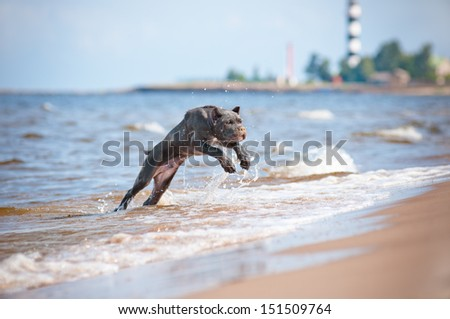 cane corso puppy jumps out of water - stock photo