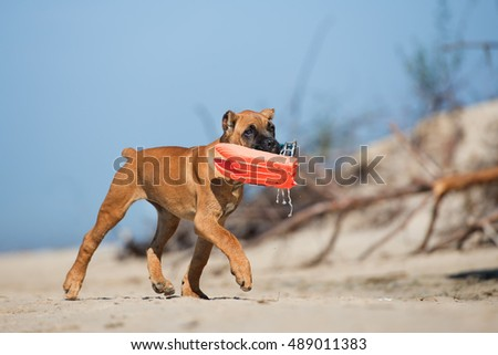 cane corso puppy playing with a toy on a beach