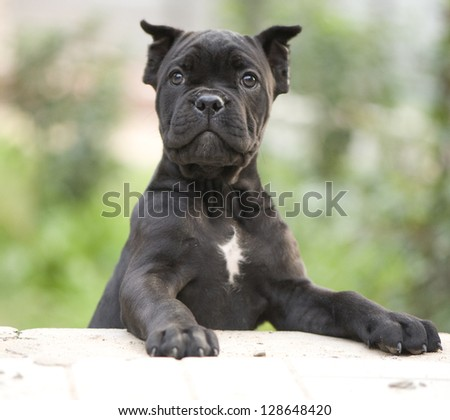 Cane-corso Stock Photos, Images, & Pictures | Shutterstock