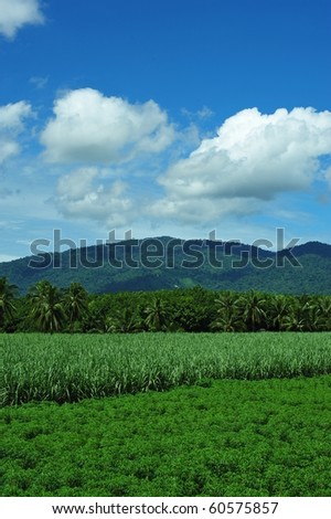 cane field - stock photo